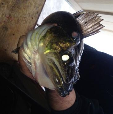 Third Eye Louie fish