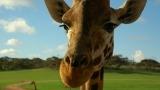 Denmark Giraffe slaughtered