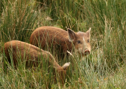 Pigs and swine in British Columbia are on the do kill list.