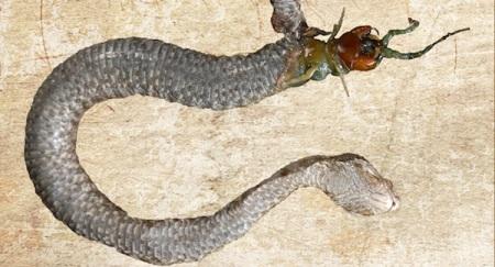 snake-centipede
